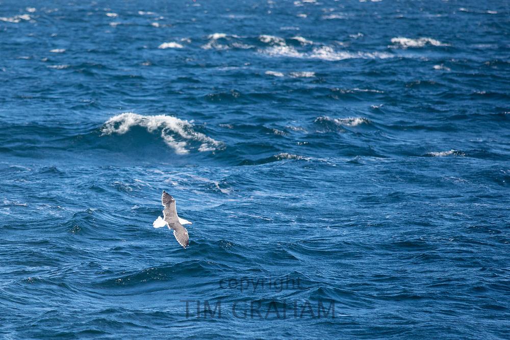 Gull in flight over the North West Atlantic Ocean, Massachusetts, USA