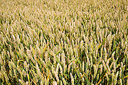Wheat field near Temple Guiting in The Cotswolds, Gloucestershire, UK