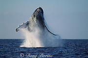 humpback whale, Megaptera novaeangliae, breaching, Hawaii Island, #1 in sequence of 9; caption must include notice that photo was taken under NMFS research permit #587