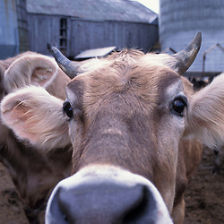 Hampton, NH..A Jersey cow at the Hurd Farm in Hampton, NH.  Dairy Farm.