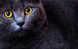 THEMENBILD - Portrait einer Britisch Kurzhaar Katze, aufgenommen am 13. Maerz 2017, Kaprun, Österreich // portrait of a grey british shorthair cat in Kaprun, Austria on 2017/03/13. EXPA Pictures © 2017, PhotoCredit: EXPA/ JFK