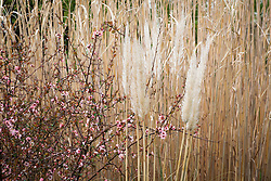 Chaenomeles speciosa 'Moerloosei syn. C.s. 'Apple Blossom' with Cortaderia fulvida syn. C. richardii and Miscanthus × giganteus. Japanese quince, Pampas grass