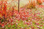 Shrubs in autumn color, Winnipeg, Manitoba, Canada