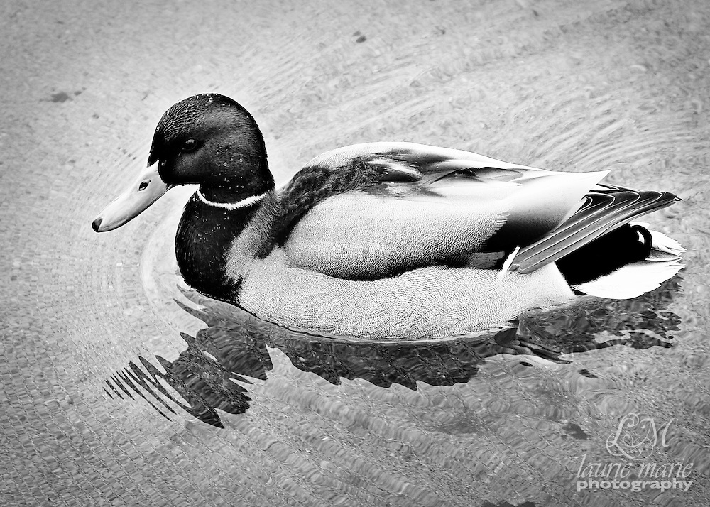 Mallard duck BW crop