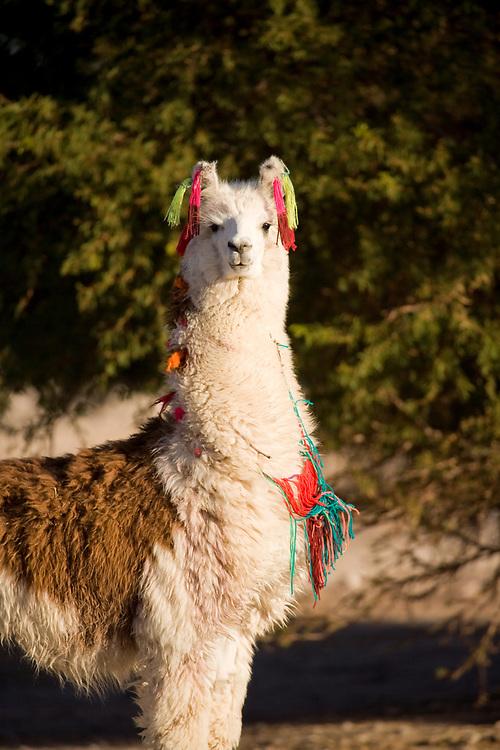 Alpaca in a oasis in the Atacama desert, Tambillo, Los Flamencos National Reserve, Atacama desert, Chile, South America