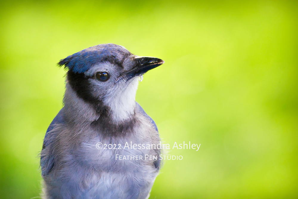 Close up portrait of juvenile blue jay (Cyanocitta cristata) in between sips at birdbath. Natural backyard setting, central Ohio.
