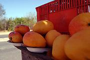 Fortaleza_CE, Brasil...Comercio de manga proximo a rodovia...The trade of mango next to a motorway...FOTO: BRUNO MAGALHAES /  NITRO