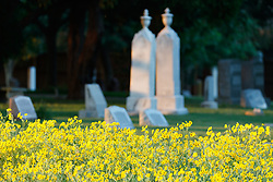 Engelmann's daisies and historic cemetery in Blackland Prairie remnant at Frankford Church and Cemetery, Dallas, Texas.
