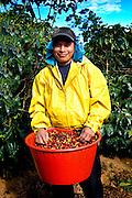 Costa Rica / Tarrazu Valley / Coffee Picker / Panamanian Indian / Basket Full of Hand Picked Coffee Cherries