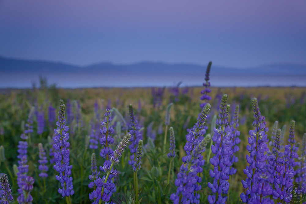 """""""Lupine Sunset 7"""" -This purple sunset and lupine flowers were photographed at Lake Forest Beach Park at Lake Tahoe, just outside of Tahoe City, CA."""