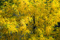 Black Walnut tree (Juglans nigra) in autumn along the Grande Ronde River in the Blue Mountains of Asotin County, WA, USA.