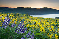 Balsamroot and lupine wildflowers at Rowena Crest, Columbia River Gorge National Scenic Area, Oregon