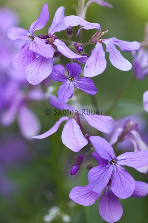 Lunaria annua 'Corfu Blue' - honesty