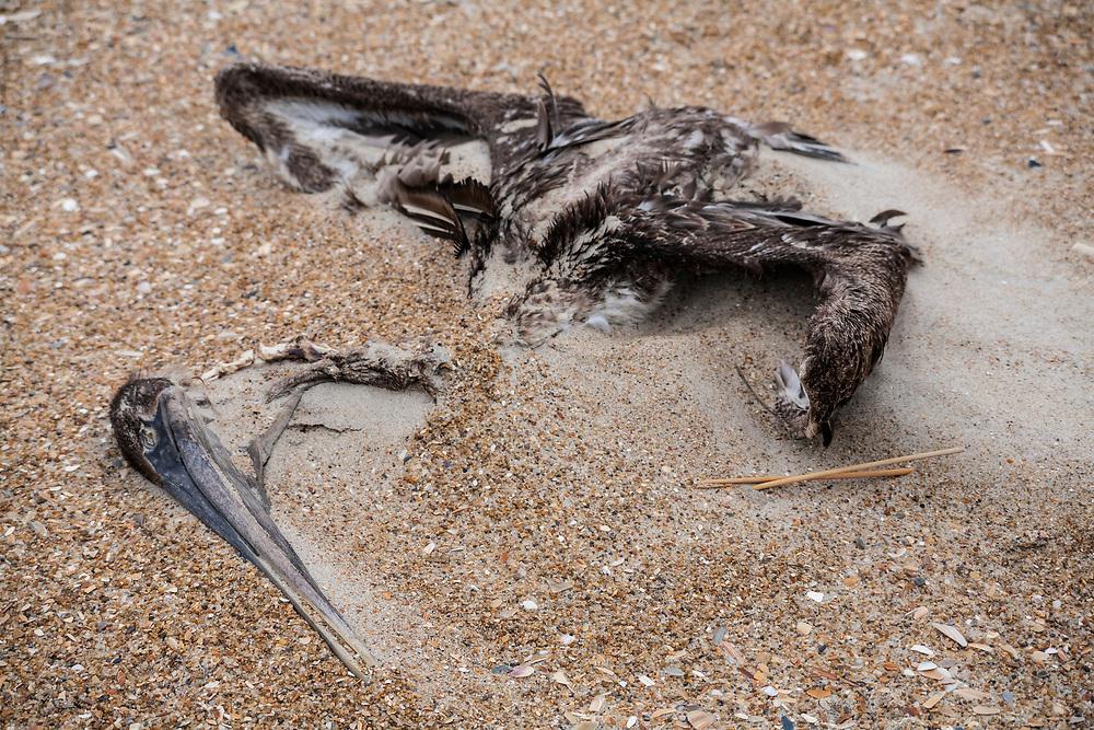 Brown Pelican (Pelecanus accidentalis), dead