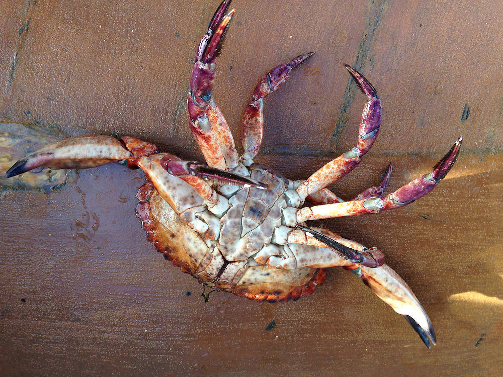 Red Rock Crab (Cancer productus), SV Maple Leaf, Gulf Islands, British Columbia, Canada