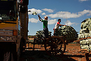 Farmers loading a the truck with sprouts, Shan State, Myanmar.<br />