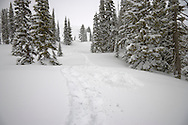 snowshoe tracks between snowladen Subalpine Fir trees at Paradise Meadows, Mount Rainier National Park, Washington, USA <br /> <br /> Subalpine Fir (Abies lasiocarpa)