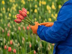 United States, Washington, Mt. Vernon, Skagit Valley Tulip Festival, held annually in April