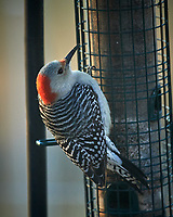 Red-bellied Woodpecker. Image taken with a Nikon D5 camera and 600 mm f/4 lens (ISO 1600, 600 mm, f/4, 1/800 sec).
