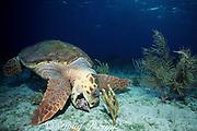 loggerhead sea turtle, Caretta caretta, feeding on Triton's trumpet shell, Charonia variegata, Bahamas ( Western Atlantic Ocean )