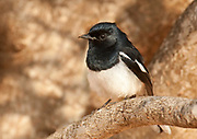 Madagascar Magpie Robin, Copsychus albospecularis, male, perched in tree branches, Ifaty, Madagascar,  Least Concern on the IUCN Red List, endemic