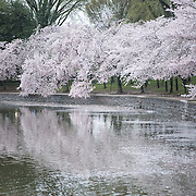 WASHINGTON DC--Petals falling off teh cherry blossoms. Washington DC's famous cherry blossoms, and gift from Japan in 1912, in full bloom around the Tidal Basin. The peak bloom each year draws hundreds of thousands of tourists to Washington DC each spring.