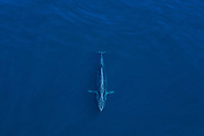 Balaenoptera edeni (Bryde's whale)