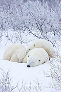 01874-11620 Polar Bears (Ursus maritimus) female and 2 cubs, Churchill Wildlife Management Area,  MB