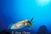broadclub cuttlefish or reef cuttlefish, Sepia latimanus, Richelieu Rock, Surin Islands, Thailand ( Andaman Sea, Indian Ocean )