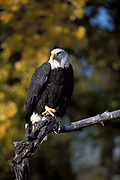 Bald Eagle Haliaeetus leucocephalus, perched on branch, autumn colours, usually found near water, feeds mainly on fish, Boulder,  Colorado.