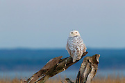 A snowy owl (Nyctea scandiaca) is perched on driftwood at dusk at Damon Point in Ocean Shores, Washington. Snowy owls, which spend the summer in the northern circumpolar region north of 60 degrees latitude, have a typical winter range that includes Alaska, Canada and northern Eurasia. Every several years, for reasons still unexplained, the snowy owls migrate much farther south in an event known as an irruption. During the 2011-2012 irruption, Ocean Shores on the Washington coast was the winter home for an especially large number of snowy owls. Snowy owls tend to prefer coastal and plains areas, which most resemble the open tundra that serves as their typical home.