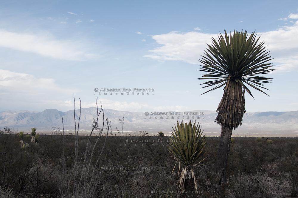 Palma del deserto.<br /> Desert palm.
