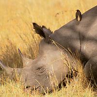 Africa, Kenya, Maasai Mara. A black rhino rests in the plains of the Maasai Mara, with an oxpecker for company.