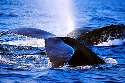 female humpback whale fluke, and male humpback whale lunging, Megaptera novaeangliae, Hawaii, Pacific Ocean