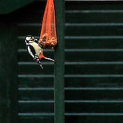 Nederland, Ubbergen, 15-2011Een bonte specht hangt aan een netje met voedsel.Door de langdurige sneeuw hebben vogels moeite met het vinden van voedsel.Foto: Flip Franssen/Hollandse Hoogte