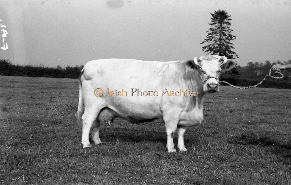 """11/08/1959<br /> 08/11/1959<br /> 11 August 1959<br /> Pedigree Bulls and Heifers for Coras Trachtala. Shorthorn """"Mysie 8th"""" owned by J.F. Wright, Prumplestown, Castledermot, Co. Kildare."""
