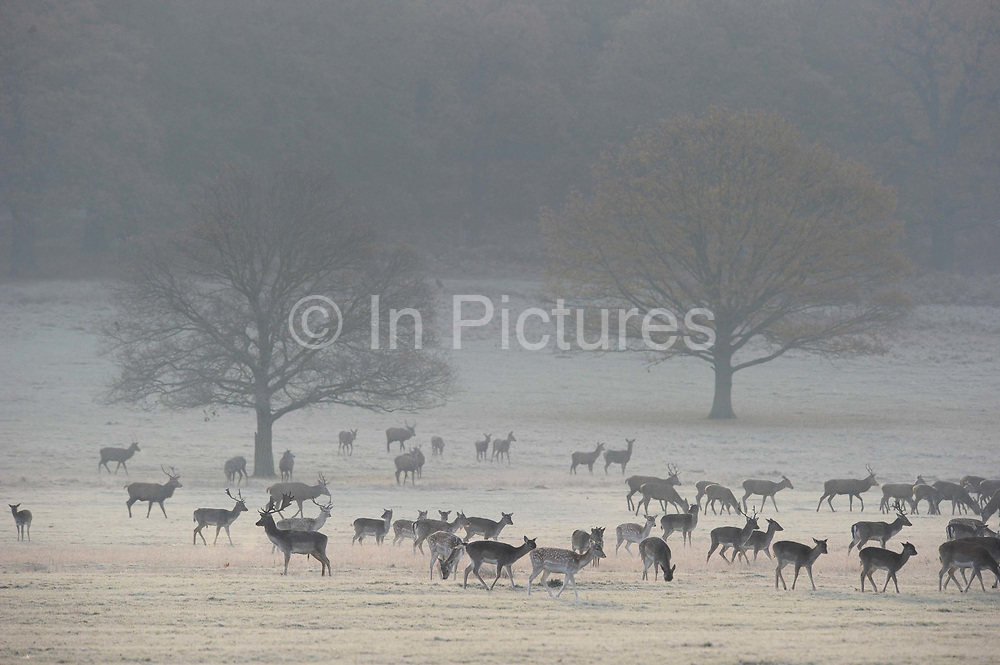 Winter Scenes in Richmond Park, London. Richmond Park, at almost 100 hectares is the largest Royal Park in London and is home to around 650 free roaming deer. The pastoral landscape of hills, woodlands, ponds, gardens and grasslands set amongst ancient trees offers a peaceful respite to visitors.