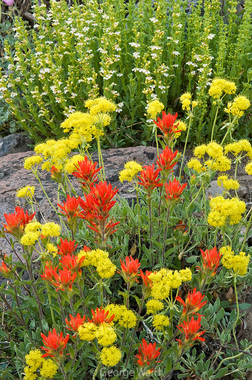 Paintbrush, Sulpher Flower and Penstemon,<br /> Humboldt-Toiyabe National Forest,<br /> Mono County, California