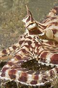 Mimic Octopus closeup showing eye stalks.(Thaumoctopus mimicus).Lembeh Straits,Indonesia