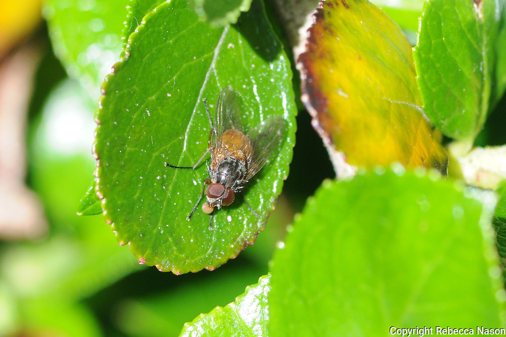 2nd Shetland record 20.06.2016, Law Lane, Lerwick, RN.<br />1st Shetland record Roger Thomason, 30.04.2012, Mossbank, expert ID on Diptera Forum.