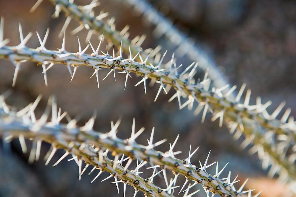 Closeup of spiny ocotillo plant Sonoran Desert Arizona USA.