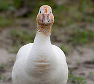 A lone Snow Goose (Chen caerulescens) poses showing its long neck while wintering on Fir Island in the Skagit River Delta, Puget Sound, Washington state, USA.