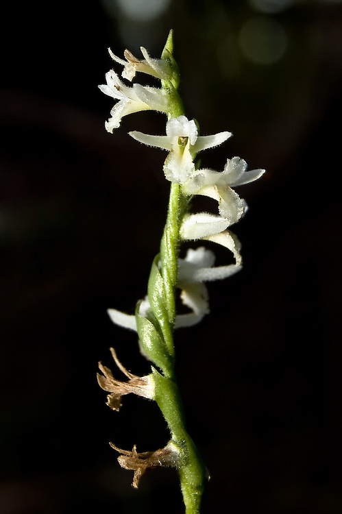 Long-lipped ladies'-tresses orchid found in the Picayune State Forest in South Florida.  An easy identification tip is if you find it and it is winter, the sepals are spread out wide, and you are in a dry pine forest, you are probably looking at the long lipped ladies'-tresses! This one was found between two palmettos at night.