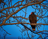 Turkey Vulture in a Neighbors Tree. Image taken with a Fuji X-T1 camera and 100-400 mm OIS telephoto zoom lens (ISO 200, 400 mm, f/5.6, 1/180 sec).