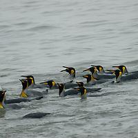 King Penguins swim in Saint Andrews Bay, South Georgia, Antarctica.