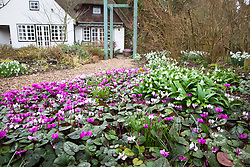 Looking towards the house with Cyclamen coum and Galanthus woronowii