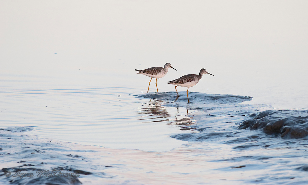 Moving constantly as they foraged, I had one moment to catch these Lesser Yellowlegs together as they fed in this beautiful evening light