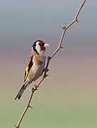 European goldfinch (Carduelis carduelis) perched on a twig. These birds are seed eaters although they eat insects in the summer. with selective focus and an out of focus green background Photographed in israel in May