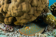 Blue-spotted Ribbontail Ray (Taeniura lymma)<br /> Lesser Sunda Islands<br /> Indonesia