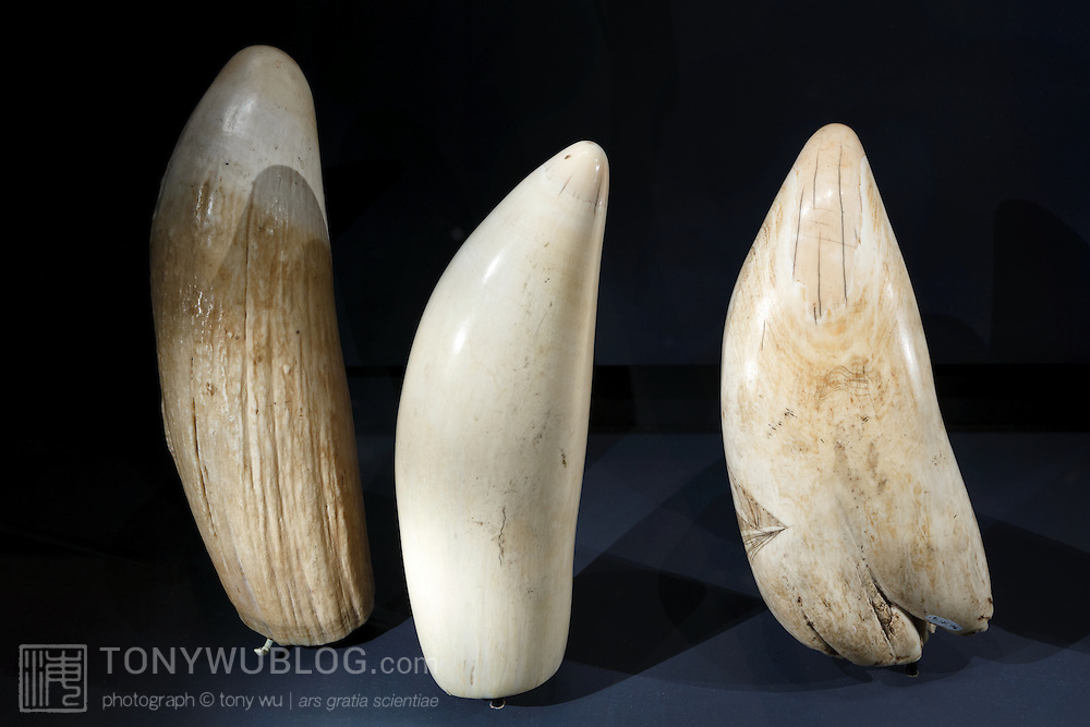 Three large sperm whale teeth, illustrating preparation for scrimshaw. The tooth on the left is raw and unpolished. The middle tooth has been polished, perhaps with shark skin or some similar textured substance. The tooth on the left is in the process of being engraved with scrimshaw.